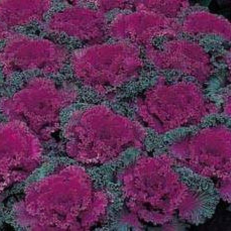 Purplekale