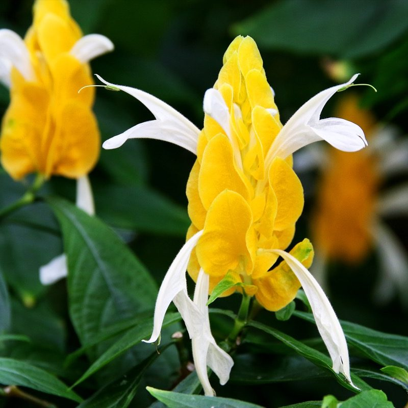 Shrimp plant yellow