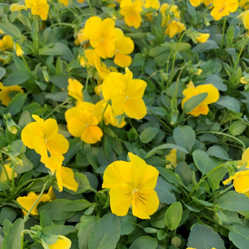 Trailing yellow pansy
