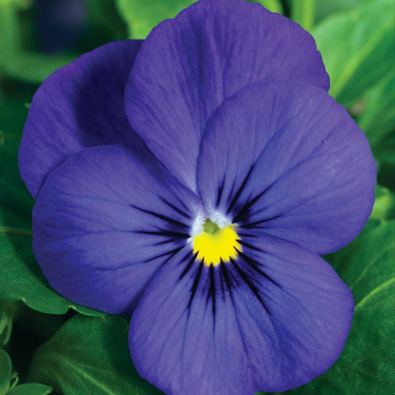 Viola deep blue