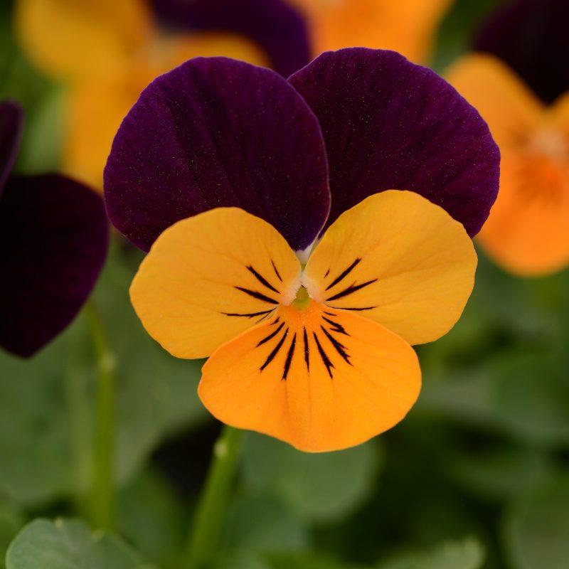 Viola orange jump up 2