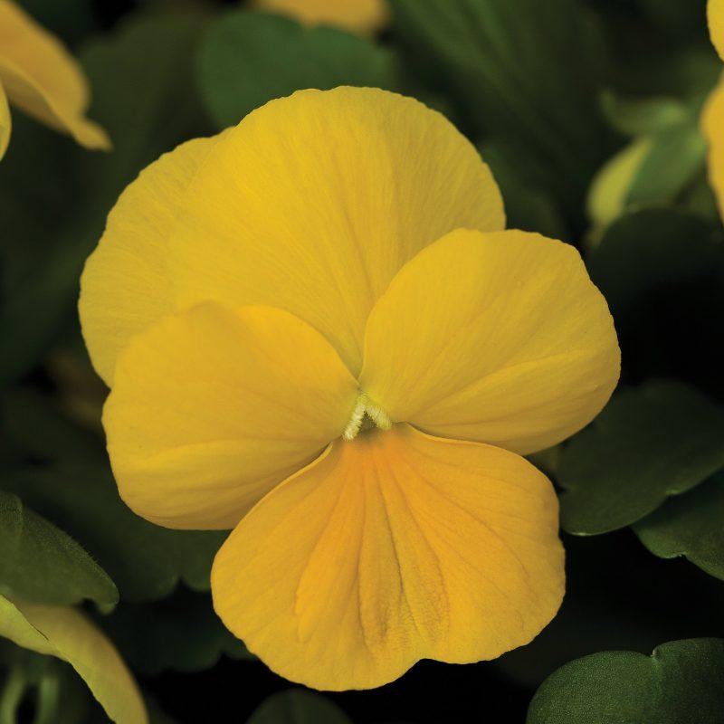 Viola penny yellow